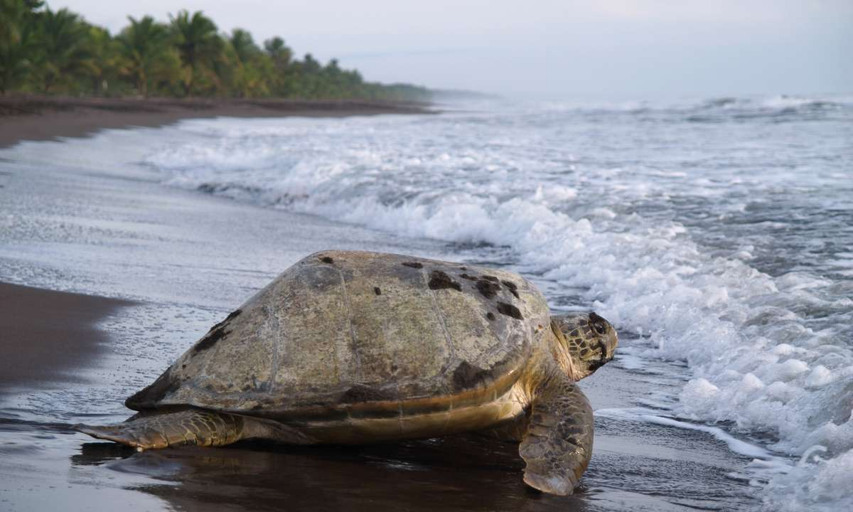 Head to Playa Tortuguero to watch green turtles nest their eggs on the beach (Dreamstime)