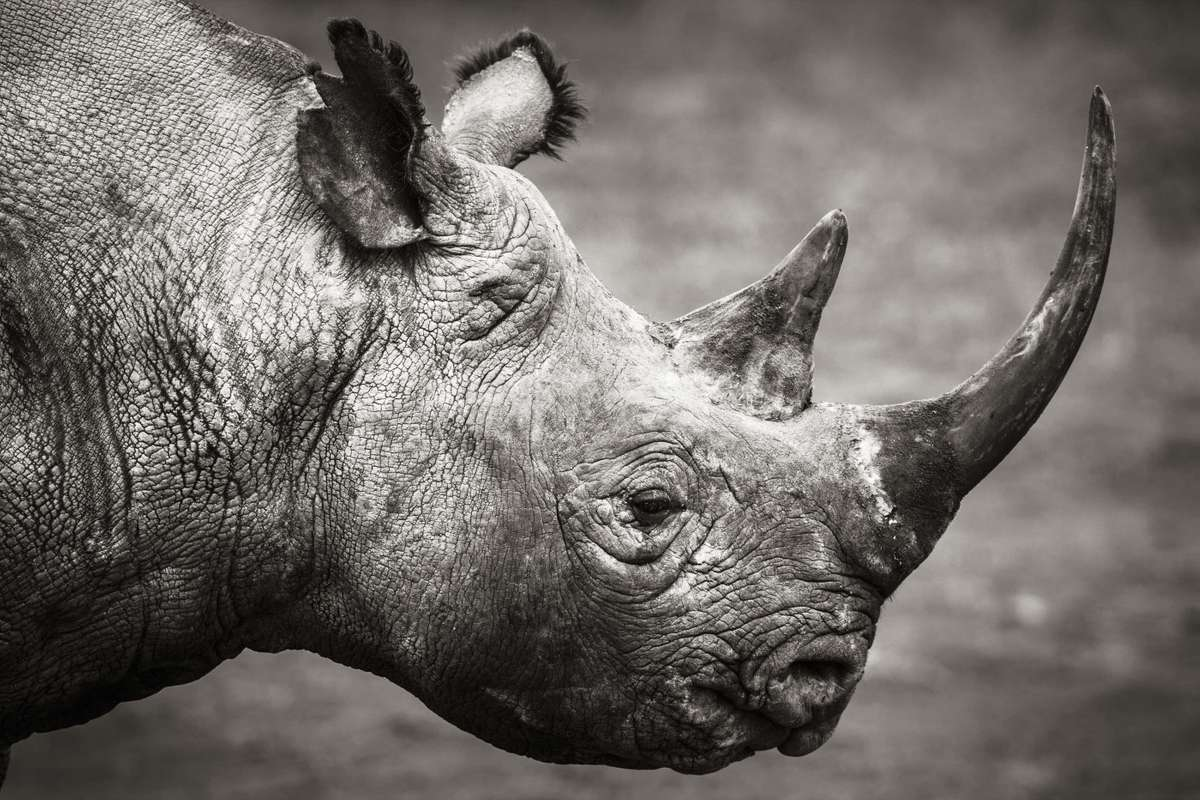 Black rhino in Kenya (Elliott Neep)