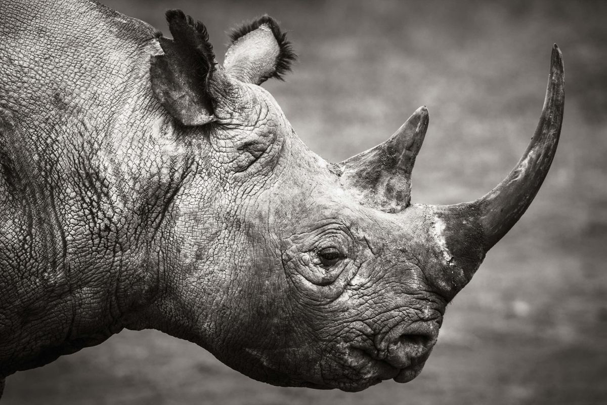 Black rhino in Kenya (Elliott Neep)