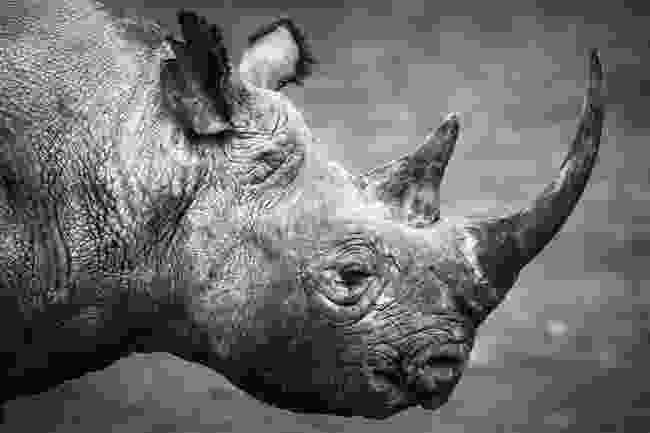 Black rhino in Kenya (Remembering Rhinos/Elliott Neep)