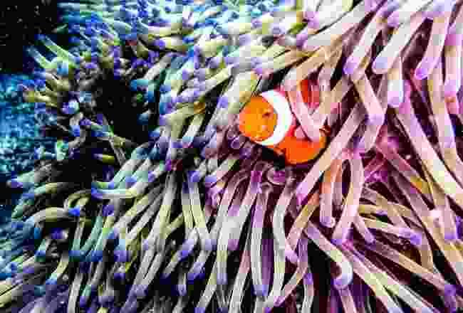 A clownfish in the Great Barrier Reef (Shutterstock)
