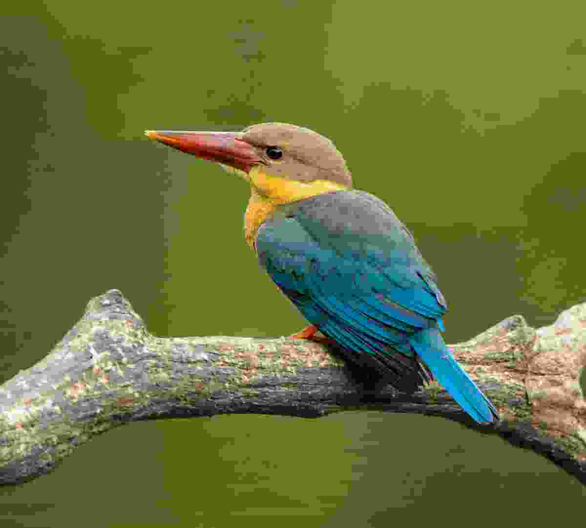 A stork-billed kingfisher (Allan Michaud)