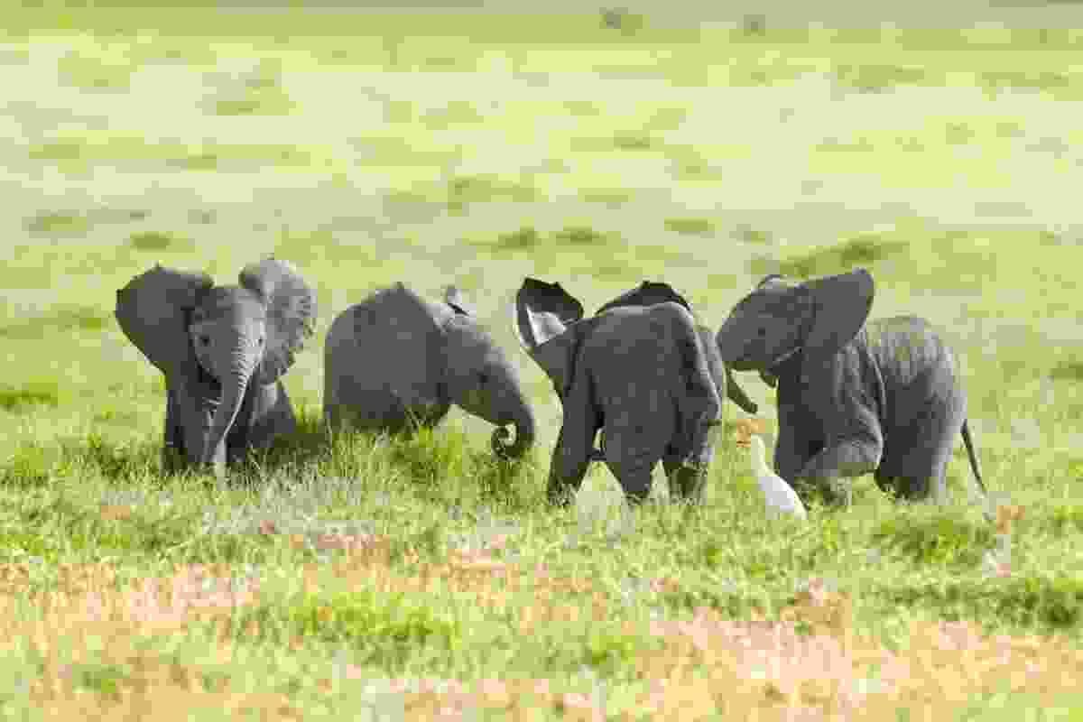 (Thomas Mangelsen/Remembering Elephants)