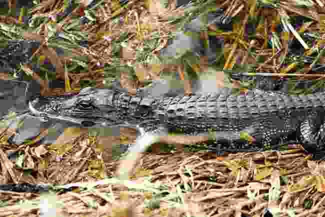 An alligator in Myakka River State Park, Sarasota, Florida (Phoebe Smith)