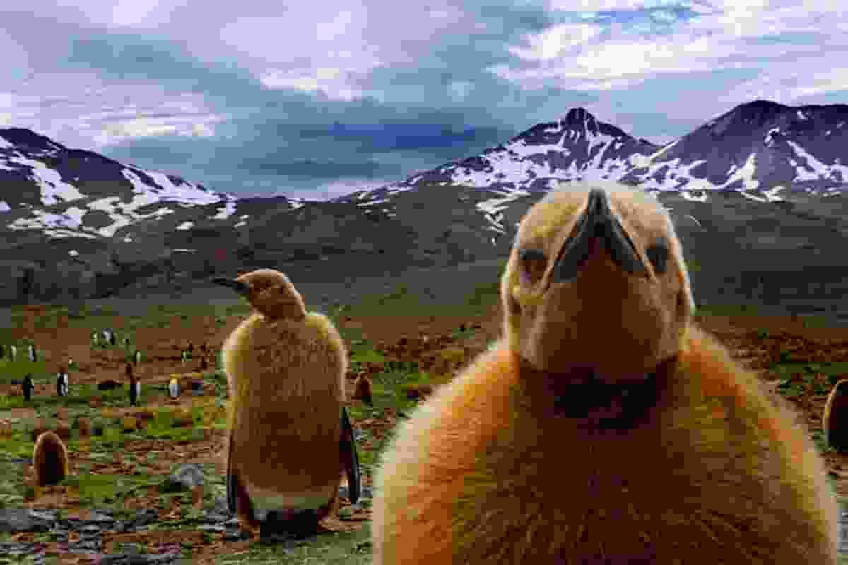 King penguin chicks, South Georgia Island (Art Wolfe)