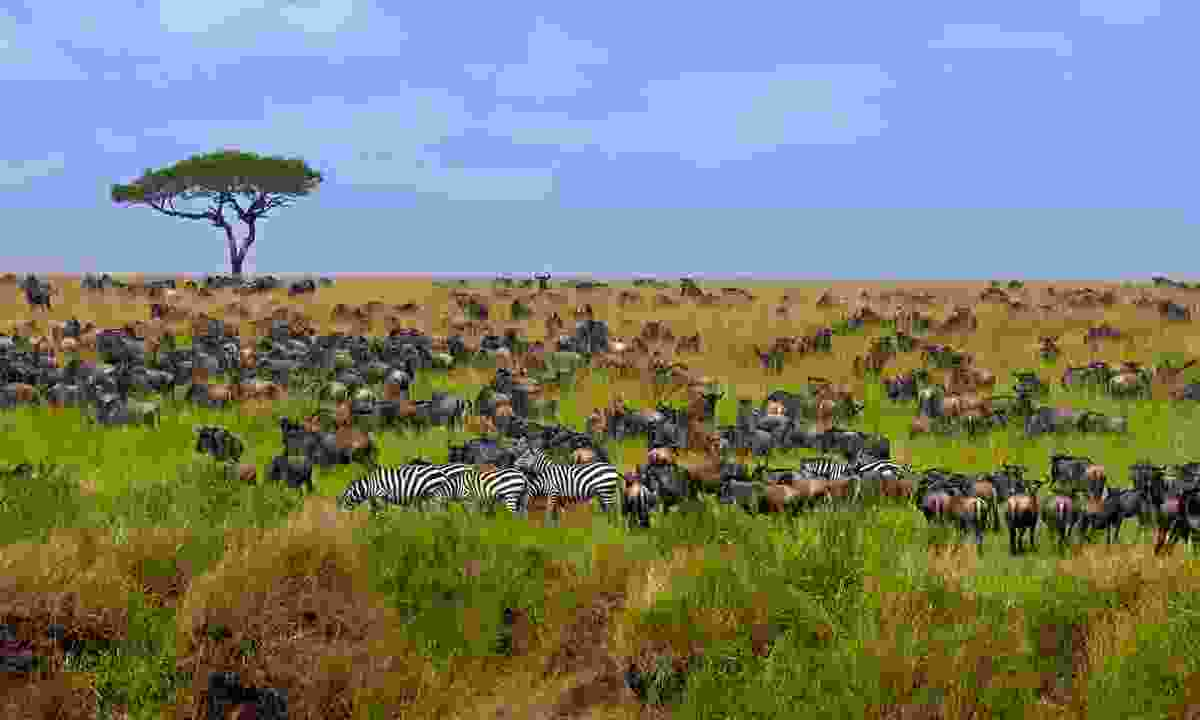 Blue Gnu coming thru: Hundreds of thousands of wildebeest – along the plains with zebra adding a dash of pizzazz – traverse the Masai Mara each year during the great migration (Shutterstock)