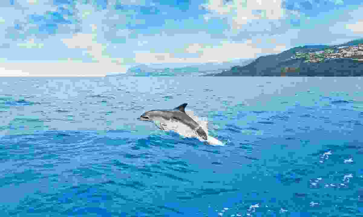 At the right time of year, you can enjoy dolphin and whale watching trips from Madeira (Shutterstock)