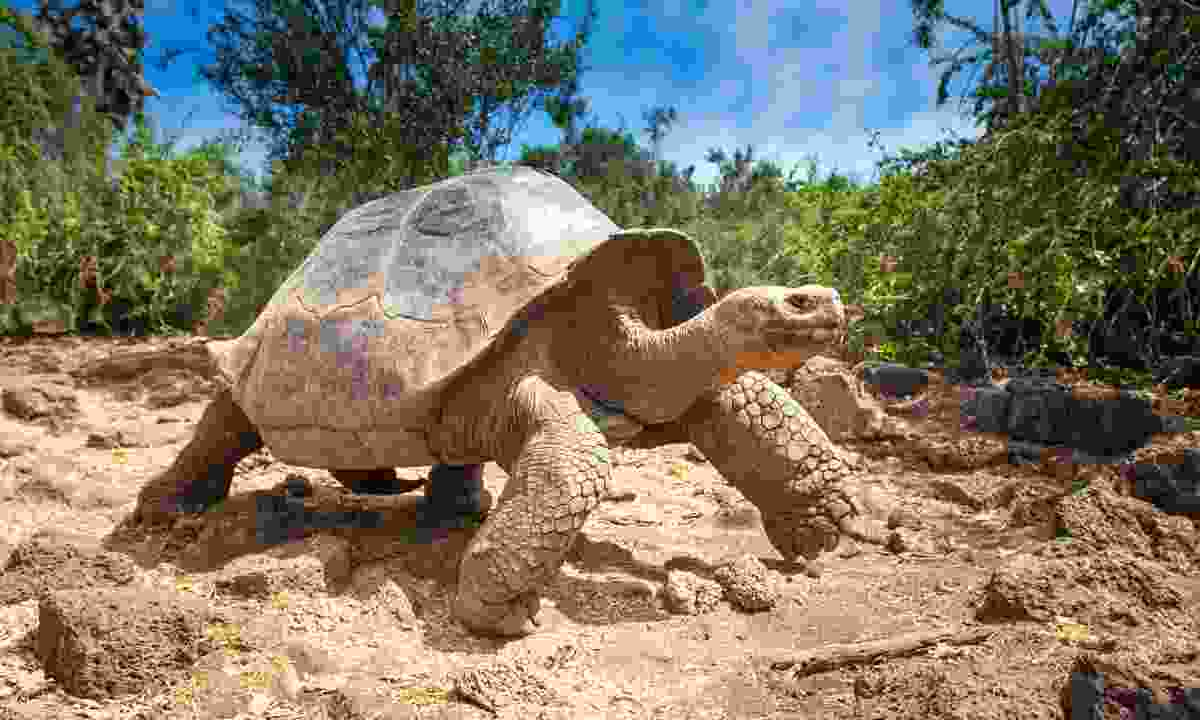 Meet the Galápagos giant tortoise (Shutterstock)