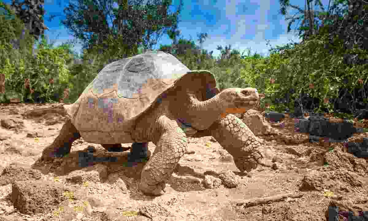 Meet the Galápagos giant tortoise (Shutterstock)