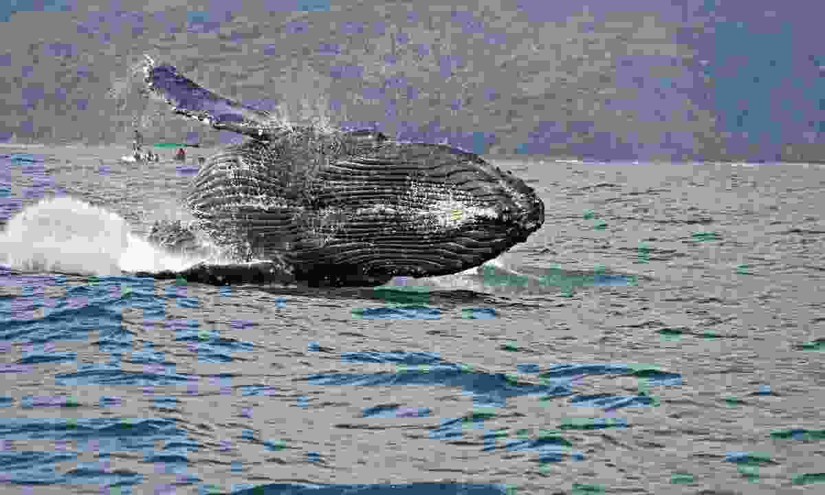 A humpback whale breaching in Costa Rica's Marino Ballena National Park (Shutterstock)