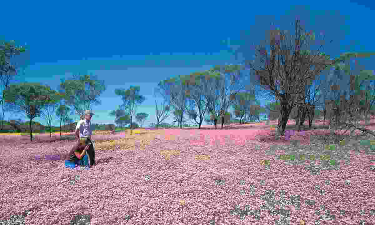 Wildflowers in Geraldton (Flight Centre)