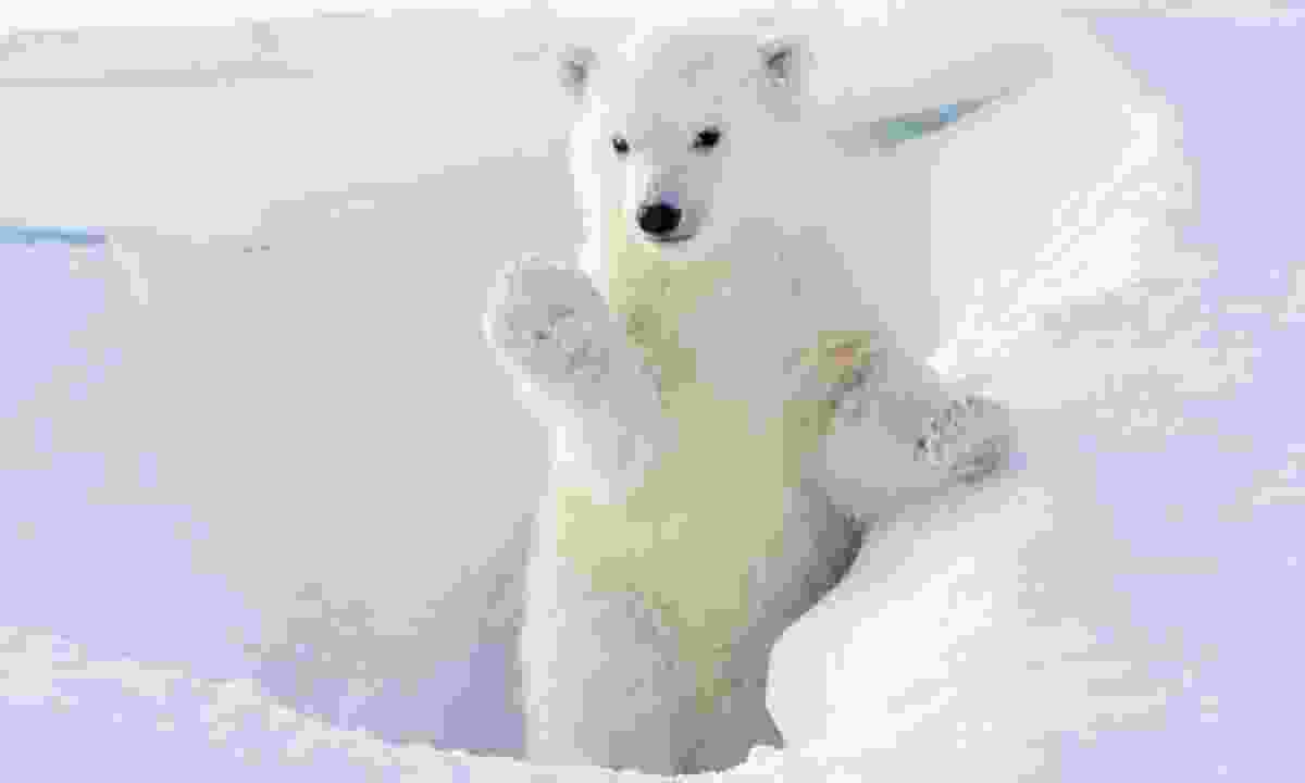A polar bear cub emerges from its den (Dreamstime)