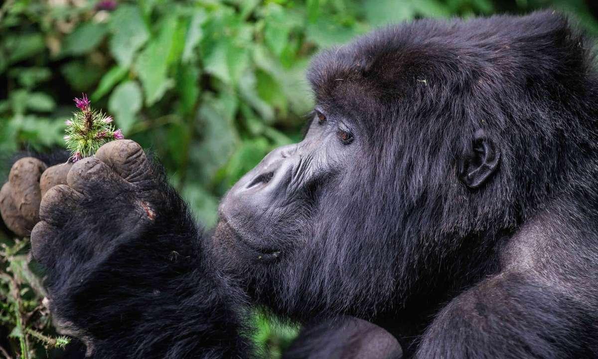 Rwanda Gorilla (Exodus: Kenny Gray)