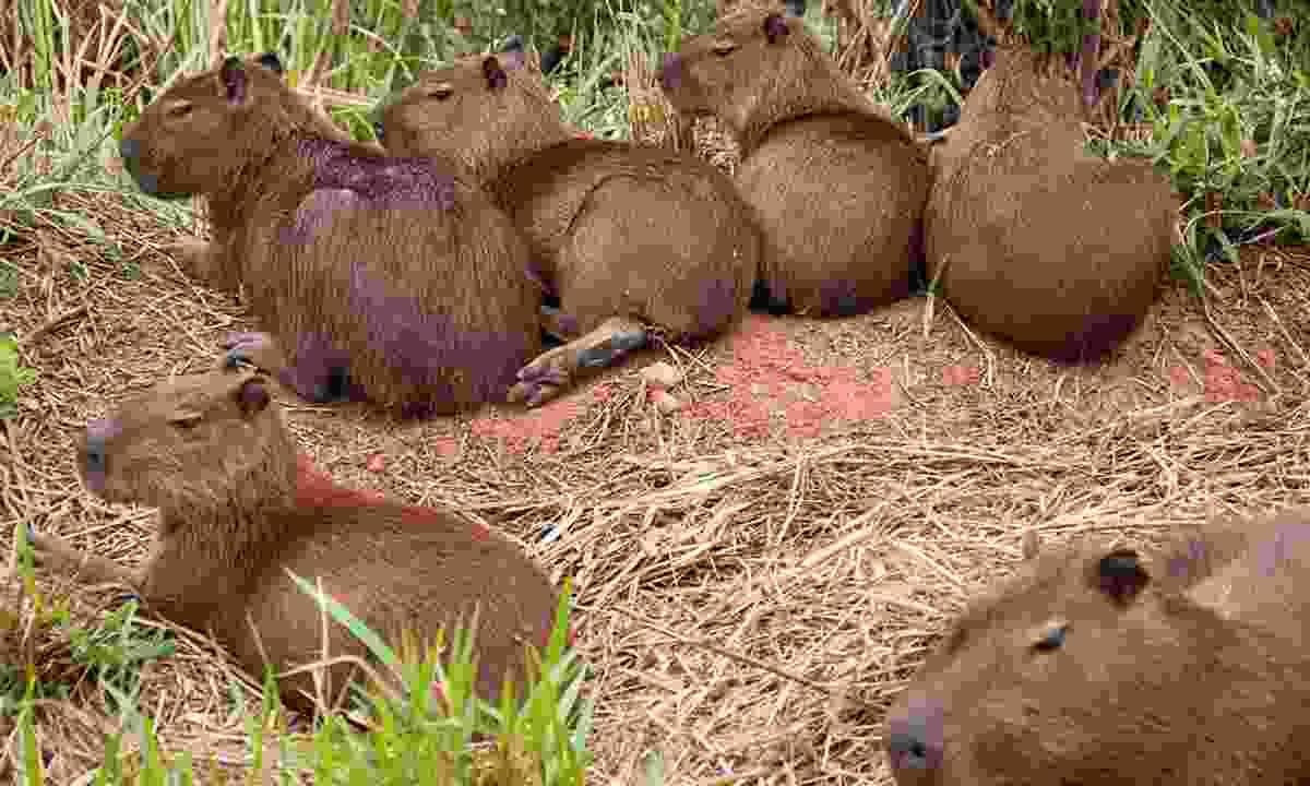 Capybaras hang out in social family groups (Simon Chubb)