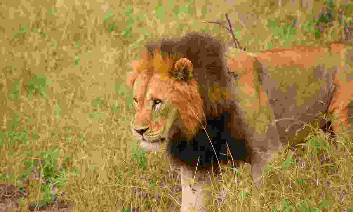 Big cats roam the grasses of Manyoni (Paul Bloomfield)