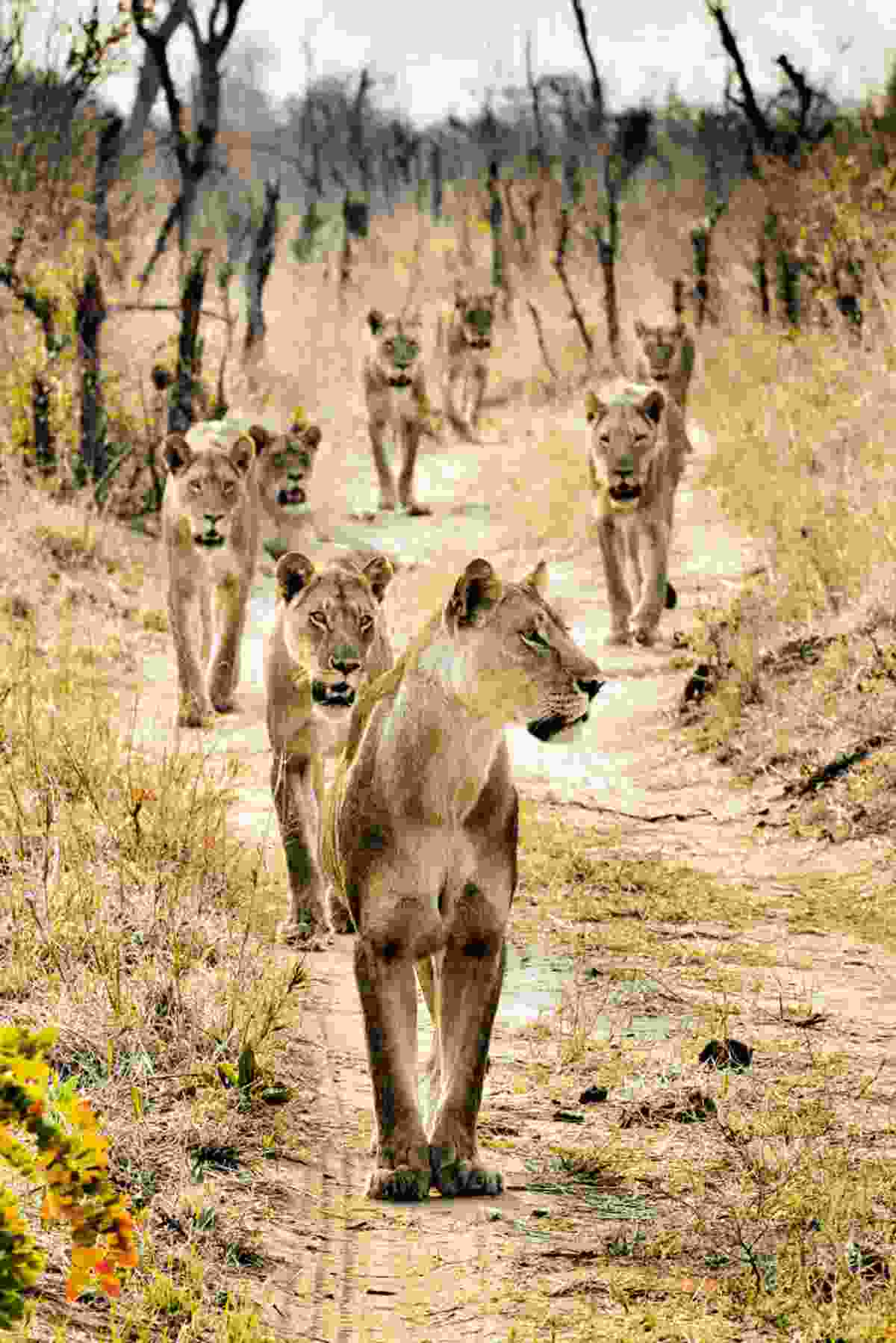Lionesses prowl (Mark Eveleigh)