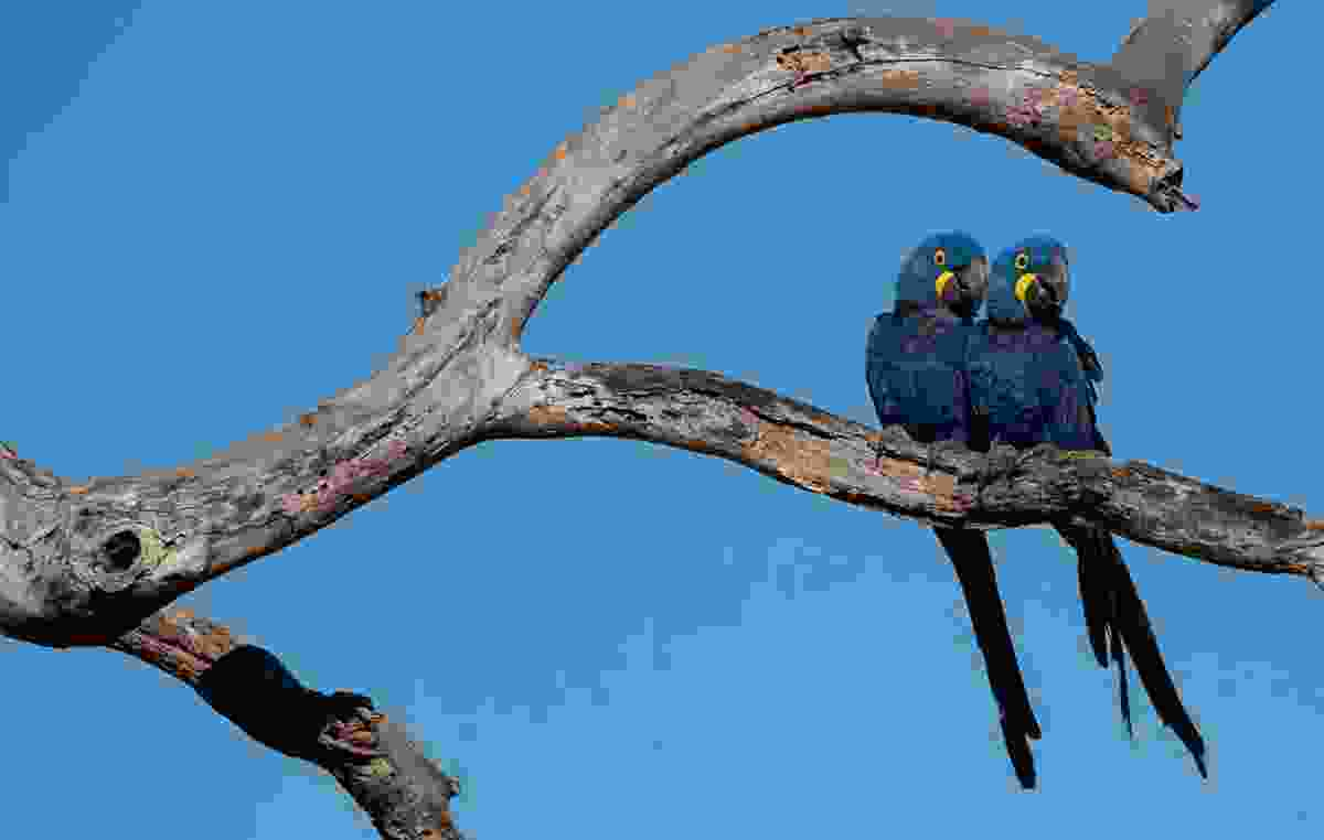 Blue macaws in the Pantanal, Brazil (Art Wolfe)