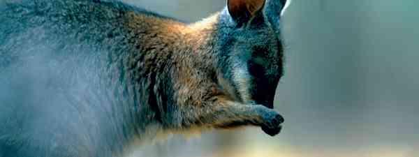 Wallaby, Kangaroo Island (SATC)