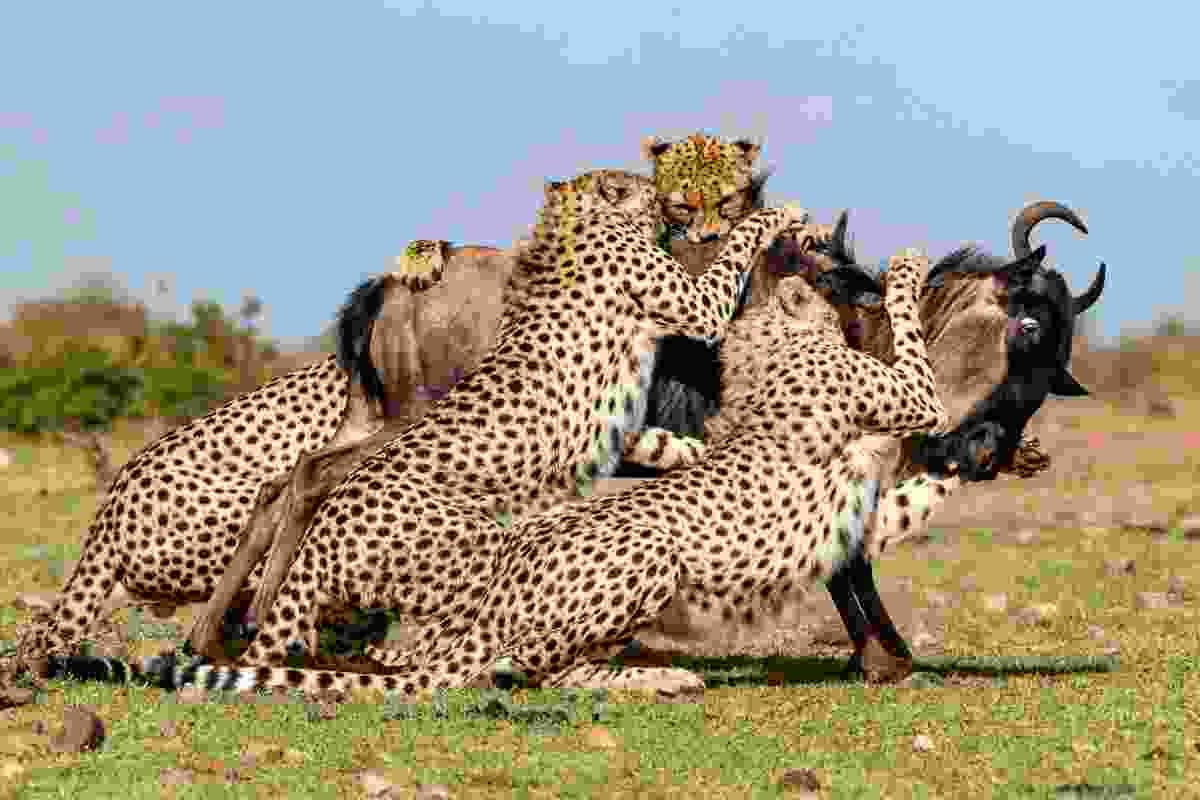 Mid-hunt at the Masai Mara National Reserve, Kenya (Animal Planet/Jonathan and Angela Scott)
