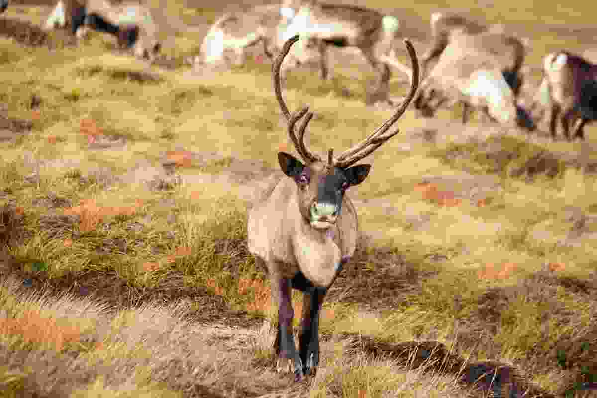 Reindeer in Cairngorms National Park, Scotland (Shutterstock)