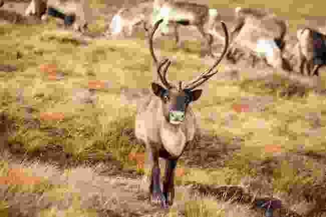 Reindeer in Cairngorms National Park, Scotland (Shutterstock)