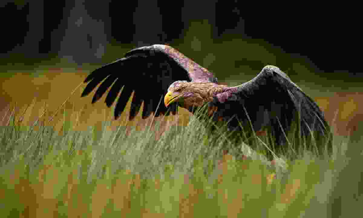 White-tailed eagle in the Czech Republic (Dreamstime)