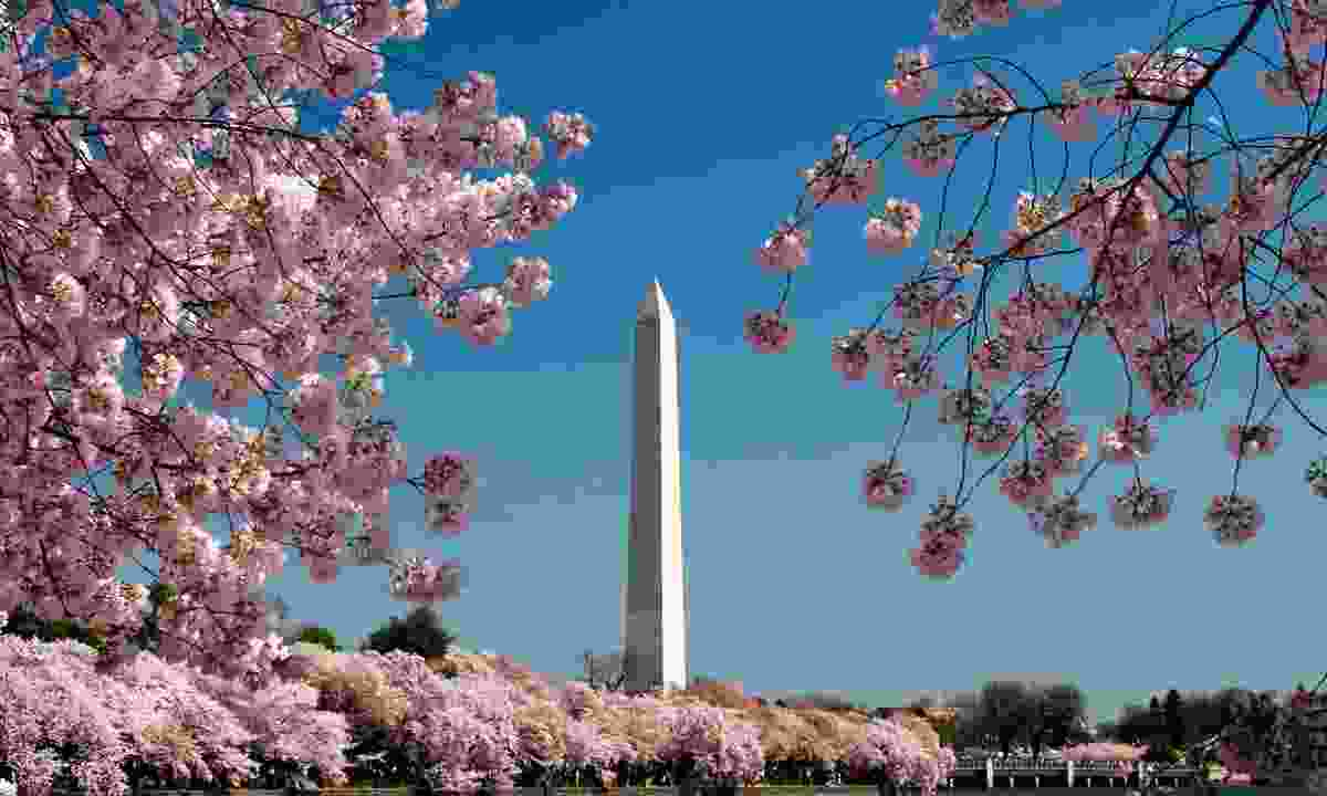 Washington Monument surrounded by cherry blossoms (Dreamstime)