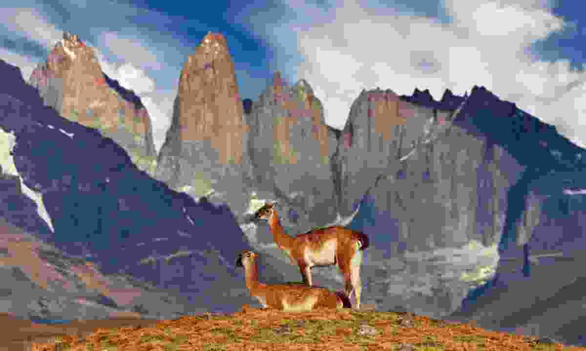Guanaco in Torres del Paine National Park (Dreamstime)