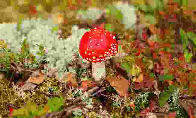 Autumn mushrooms in a Finnish forest (Dreamstime)