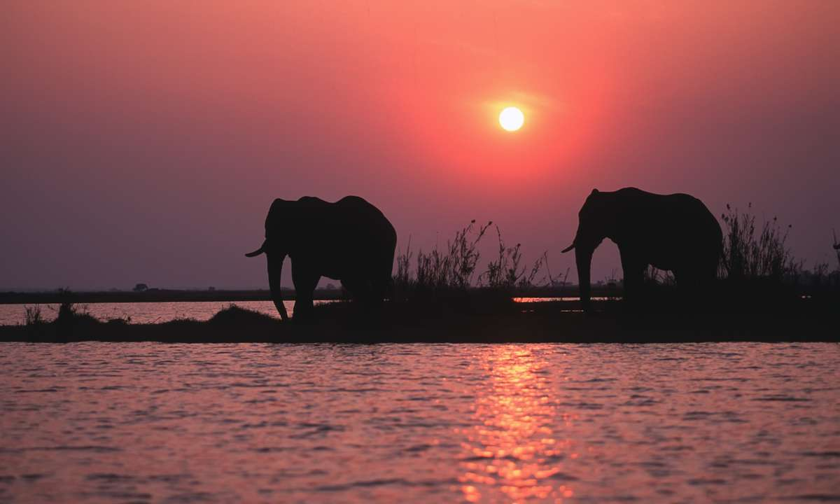 African elephants at sunset, Chobe River (Dreamstime)