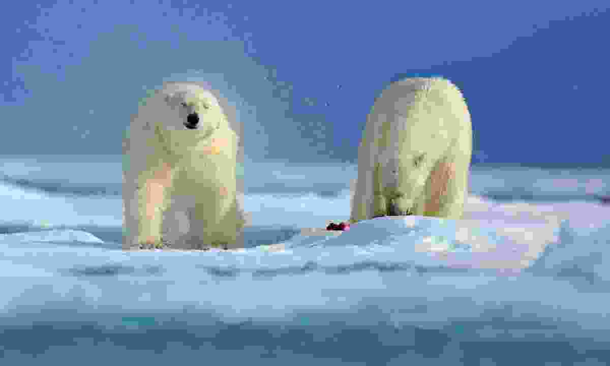 Polar bears in Arctic Russia (Dreamstime)