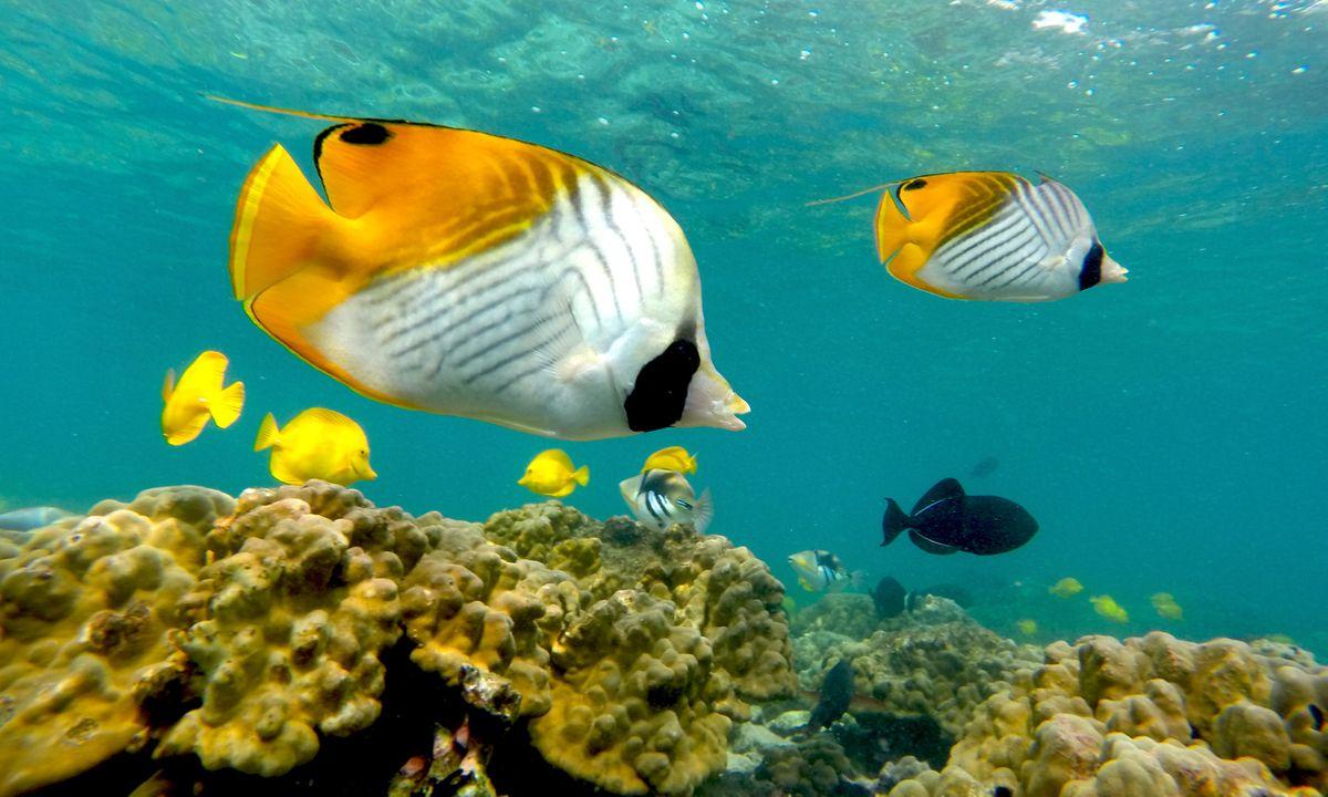 Colourful tropical fish (Island of Hawai'i Visitors Bureau/Kawika Singson)