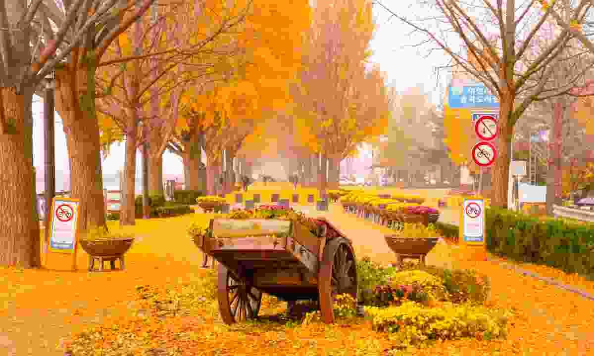 Asan's Ginkgo tree avenue in autumn (Shutterstock)