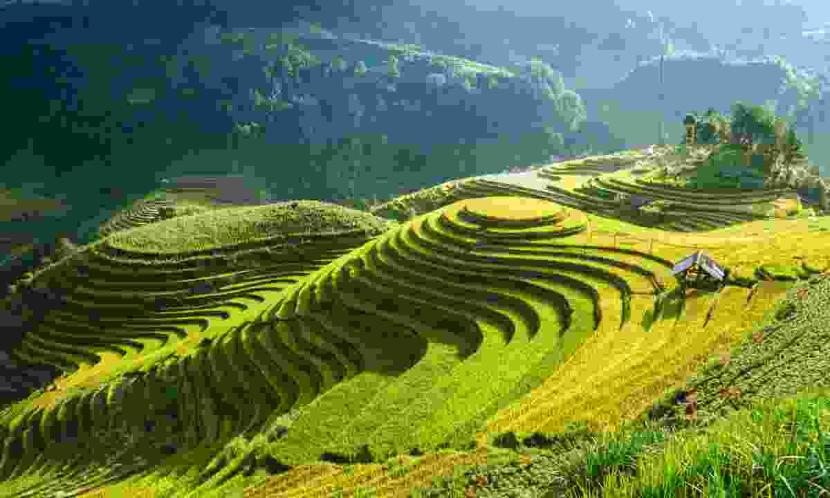 Rice fields in harvest season in Mù Cang Chải (Dreamstime)
