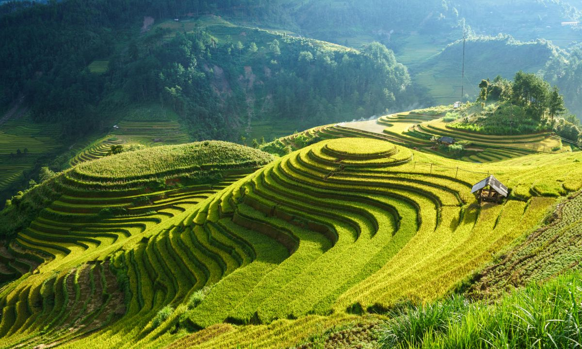 Rice fields in harvest season in M&rgb(2, 4, 9); Cang Chải (Dreamstime)