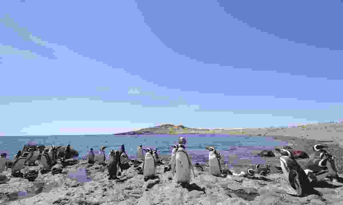 Penguins at Puerto Deseado (Dreamstime)
