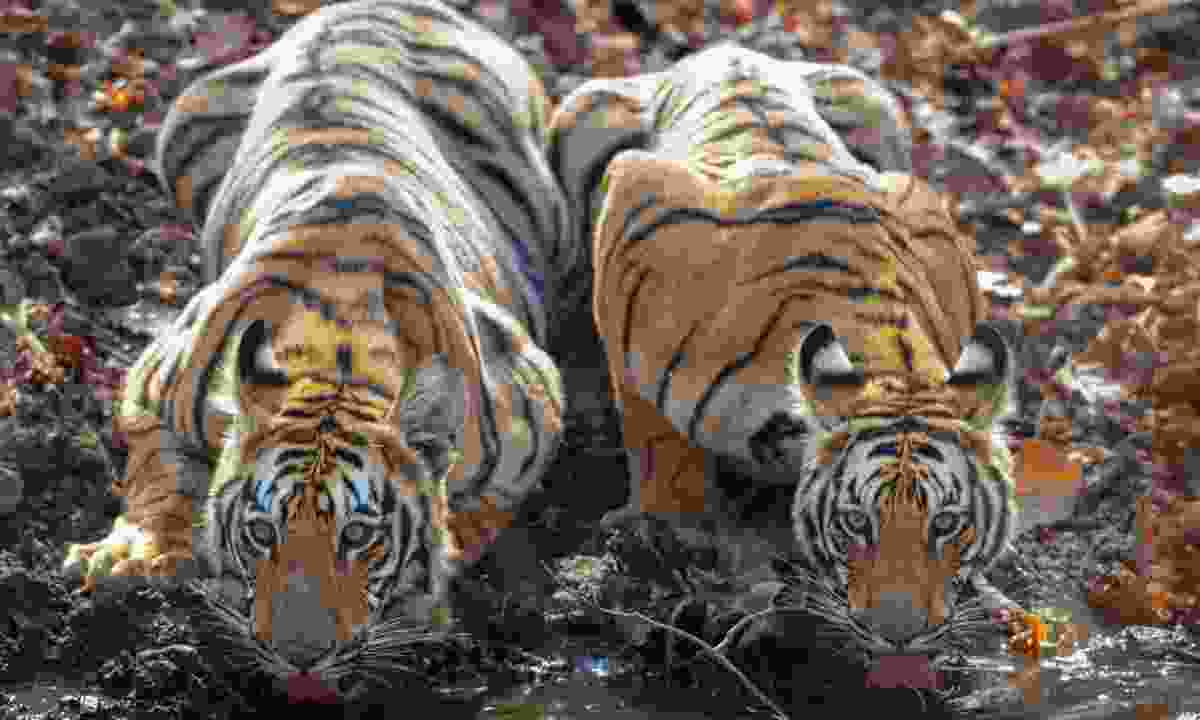 Two tigers drinking water at  Tadoba Andhari Tiger Reserve (Dreamstime)