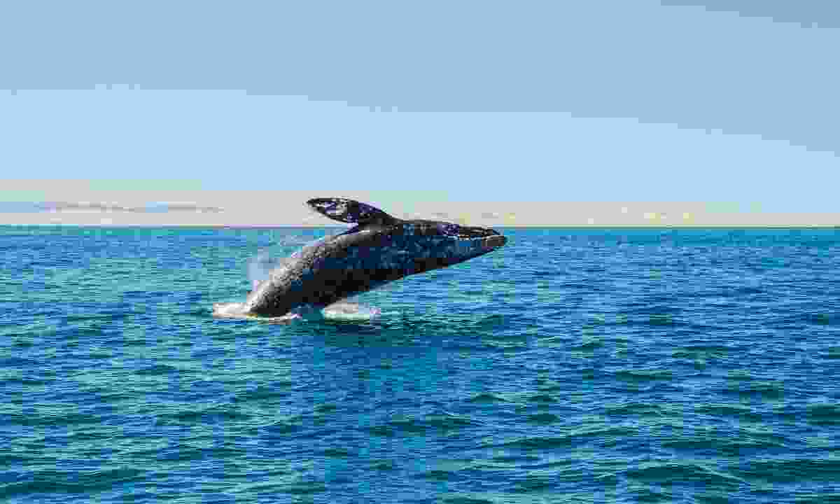 A whale jumping from the water in Baja California (Dreamstime)