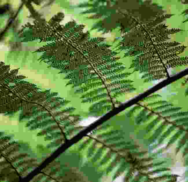 Ferns dot the trails (Phoebe Smith)