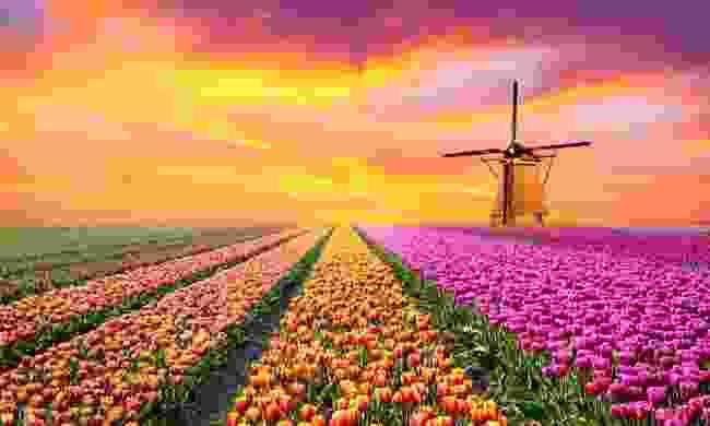 Virtually admire Holland's tulips (Shutterstock)