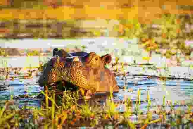 A hippo lurks in the Chobe River, Botswana (Shutterstock)