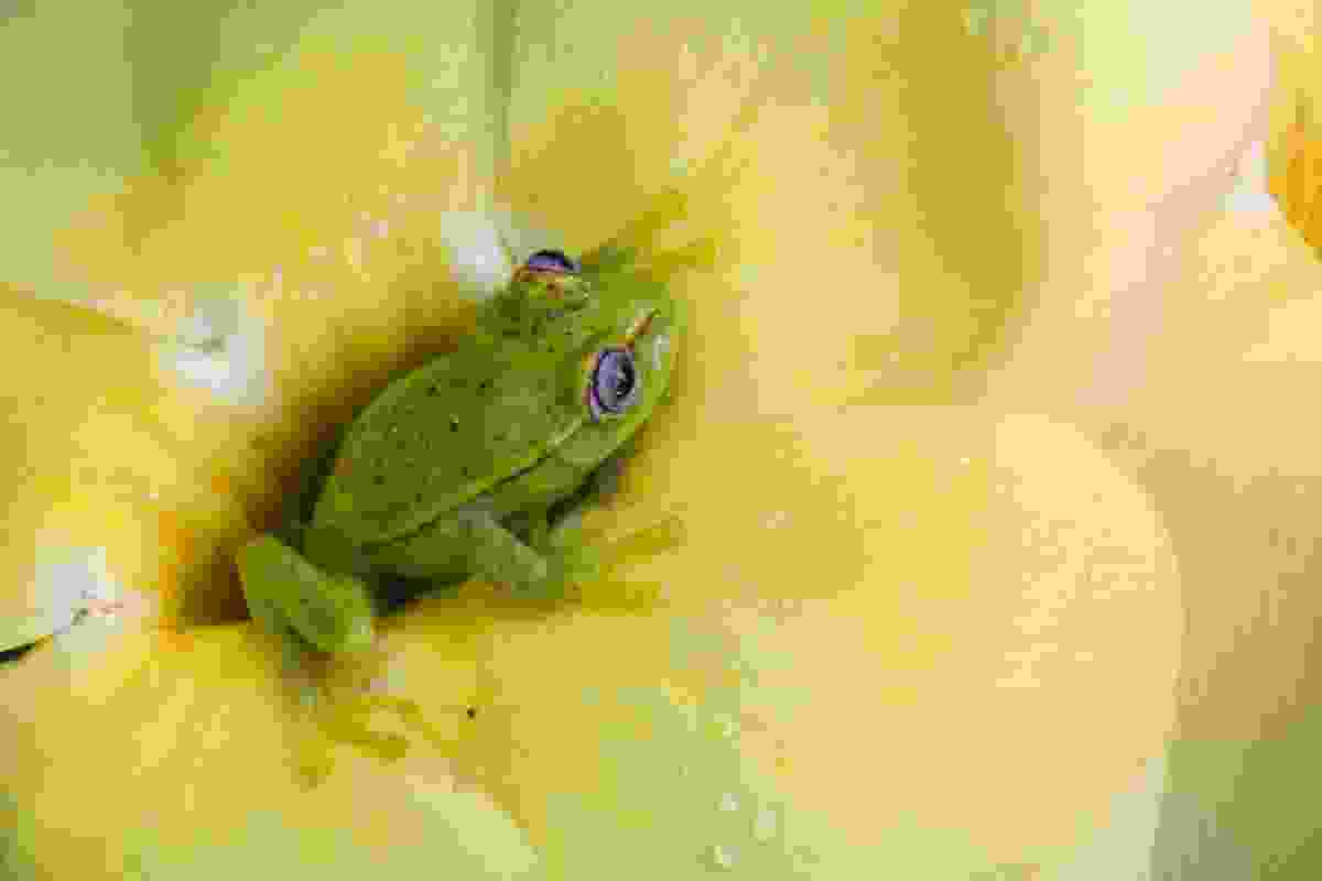 Polka-dot tree frog, Manú National Park, Peru (Art Wolfe)