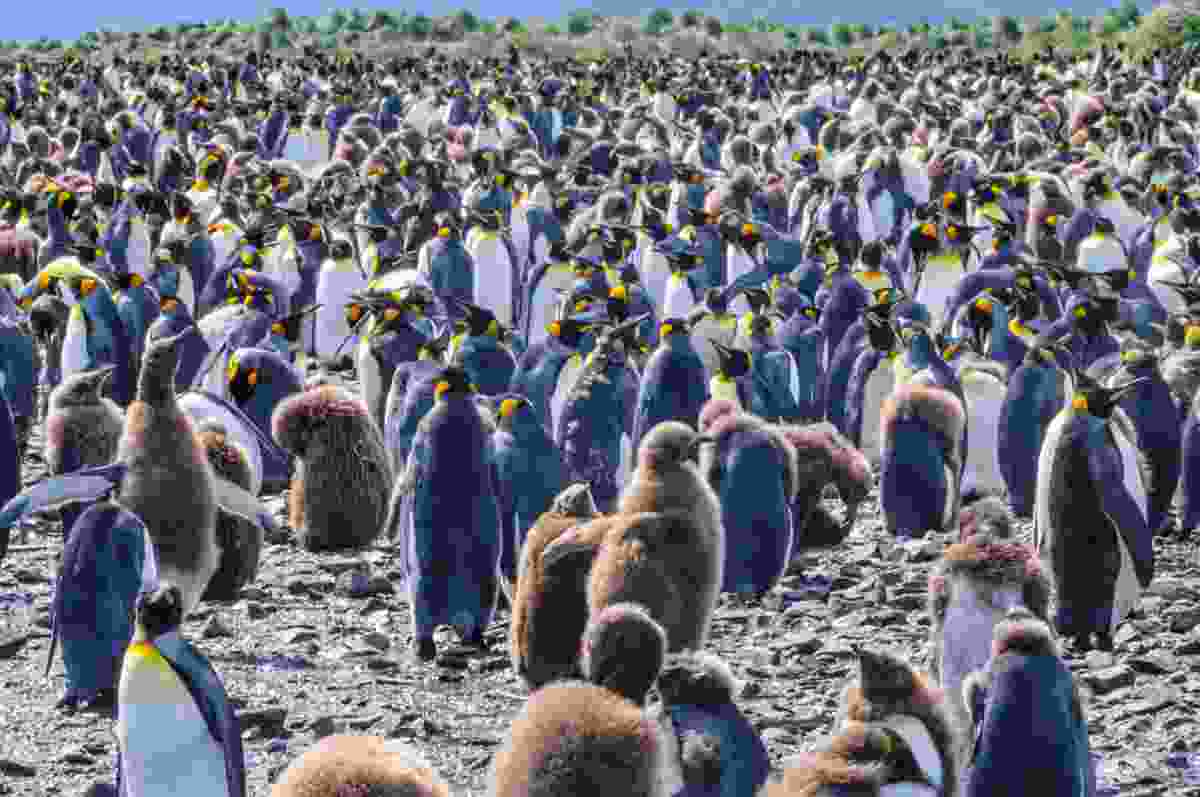 The king penguins of South Georgia (Shutterstock)