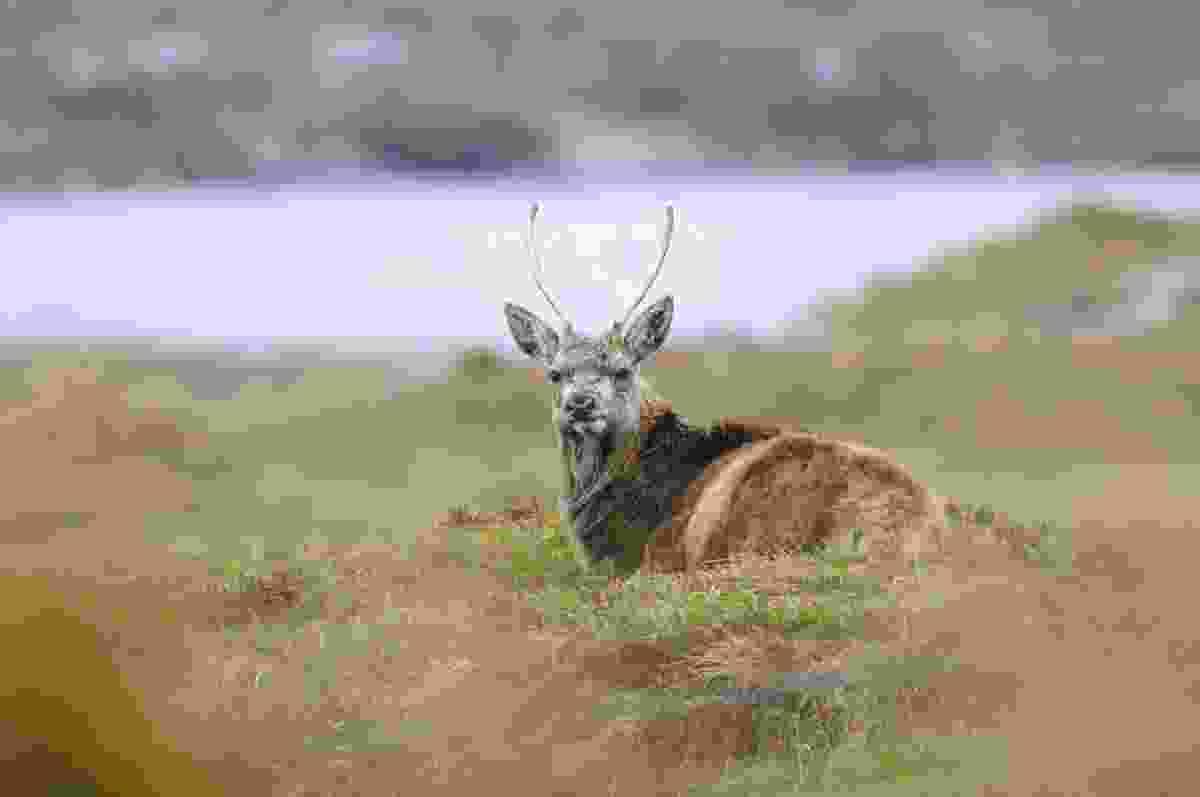 Reed deer at rest (Dreamstime)