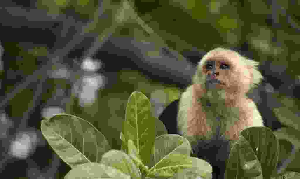 Curious capuchin monkey (Shutterstock)