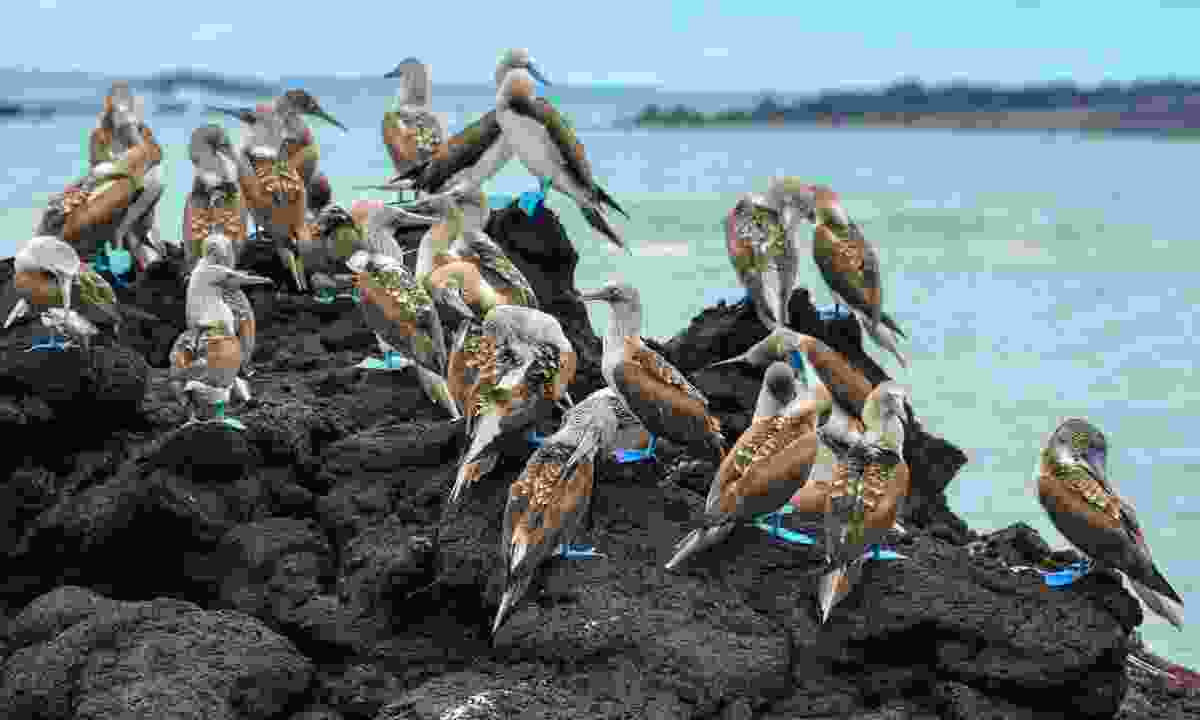 Blue-footed boobies (Shutterstock)