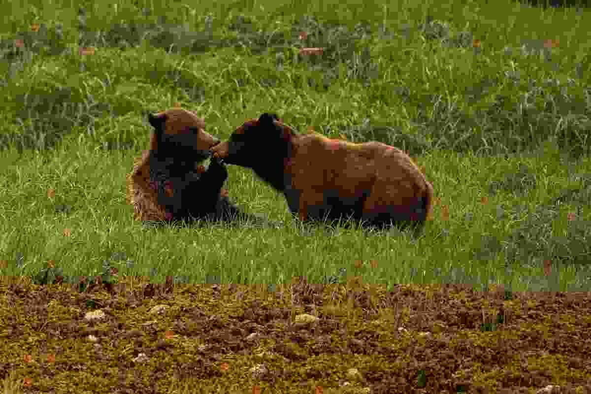 Two bears mating (Phoebe Smith)