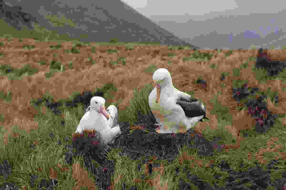 Young royal albatross on Campbell Island, New Zealand (Shutterstock)