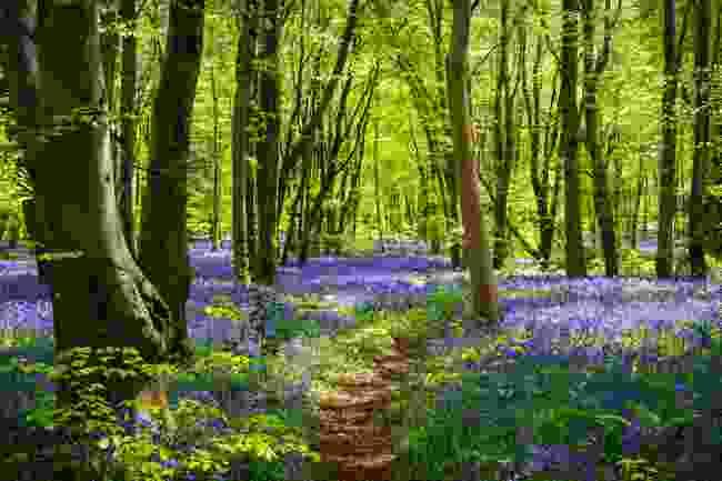 Bluebells in woodland (Shutterstock)