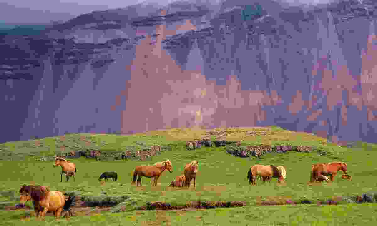Icelandic horses (Shutterstock.com)